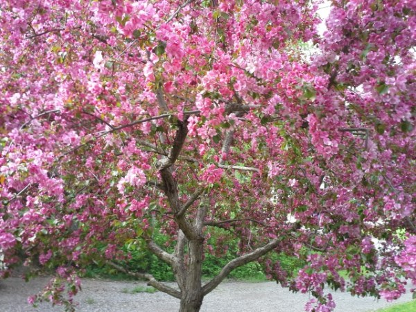 Crab Apple Tree in Full Bloom