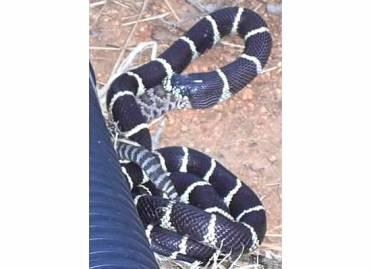 California king snake eating a rattlesnake in my yard. 2008