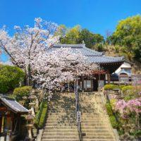 【花見】桜満開の野崎観音