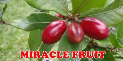 Buah Miracle Fruit
