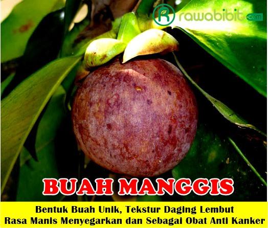 buah manggis