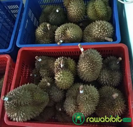 Peluang bisnis durian montong