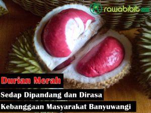 Sejarah Durian Merah