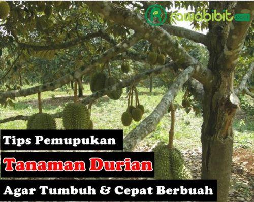 Tips Pemupukan Durian