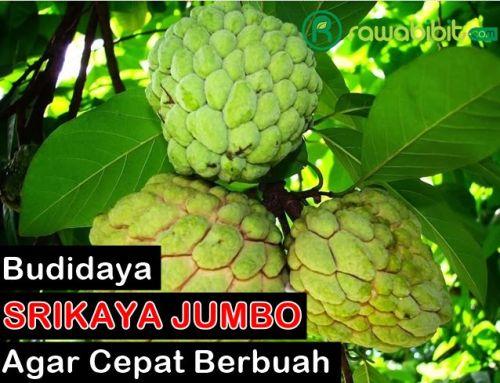 Budidaya Srikaya Jumbo