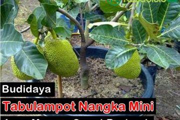 Budidaya Tabulampot Nangka Mini
