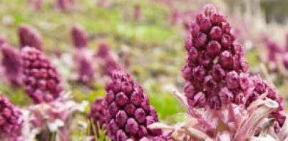 BUTTERBUR, MIND, RAW DIMENSION