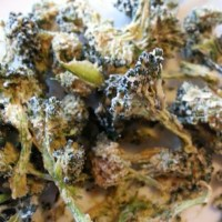 RAW DEHYDRATED BROCCOLI CHIPS RECIPE