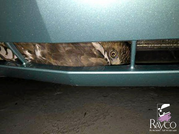 A live red-tailed hawk was found trapped in the front bumper of a car delivered Monday to Rayco Eurospec Motorcars in Kingston.