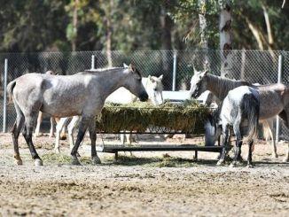 konji uzeti iz kolica u prirodnom životnom parku izmir