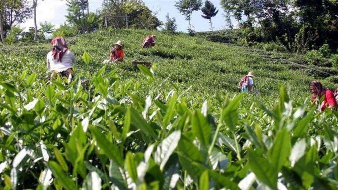 בקשות להיתר נסיעות עבור יצרני תה החלו