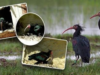 Bald ibis breeds with new offspring