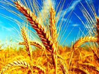 min hvedeproduktion er helt dækket af indenlandsk produktion