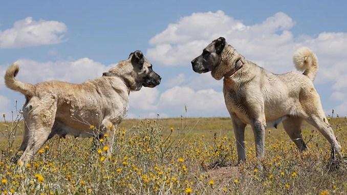 Jeep-Tracking-Projekt für Kangal-Hunde von der Entwicklungsagentur