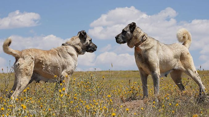 jeep tracking project for kangal dogs from development agency