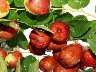 Jujube Frugt og dens fordele