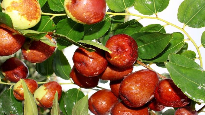 Jujube Fruit and Its Benefits