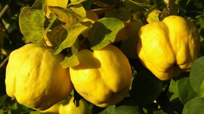 The benefits of quince do not end with counting