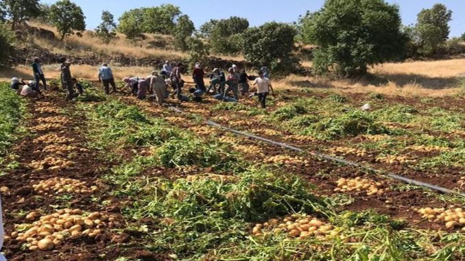 municipalities will buy potatoes from the producer