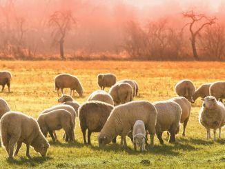 羊とヤギの繁殖支援の支払いが今週から始まります