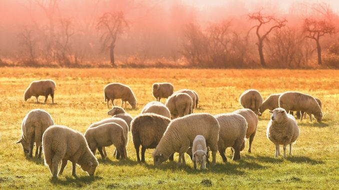Sheep and Goat Breeding Support Payments Start This Week
