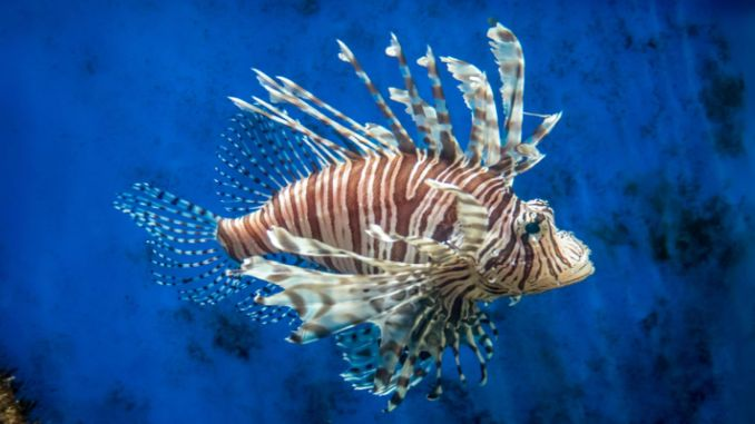 holding a lionfish hunting competition