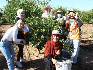 s-au recoltat mandarine pentru cei nevoiași