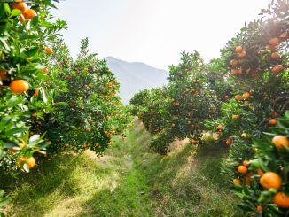 دعوة لمكافحة ذبابة فاكهة البحر الأبيض المتوسط لمنع فقدان الغلة