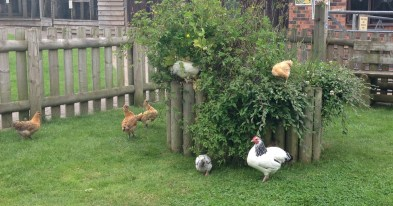 Chickens in the play area!