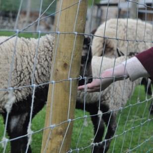 Badger Face lamb