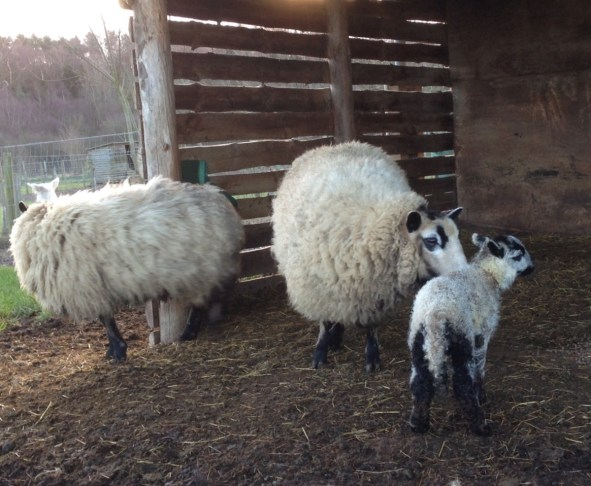 Badger Face ewe and lamb