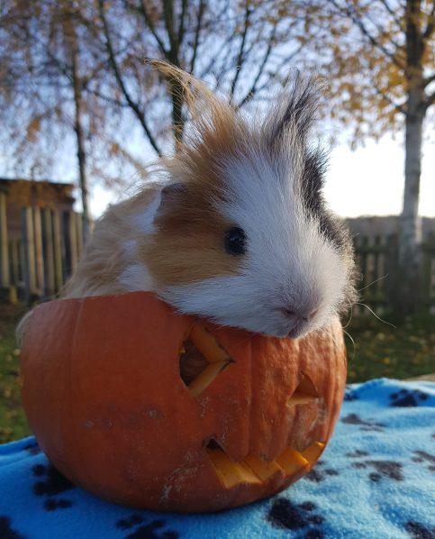 guinea pig 1