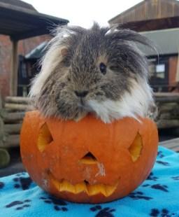 guinea pig 7