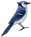 blue jay band