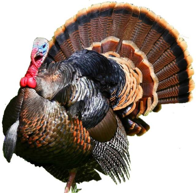 turkey_cutout