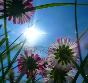 daisies seen from below