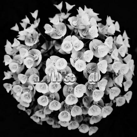 flower black & white