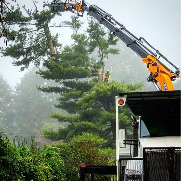 cutting the top off a tree