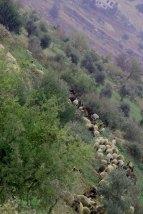 Al Salt, AsSalt, Al-Salt, AlSalt, Jordan, sheep crossing the greenery mountains