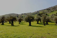 Ancient Roman Olive Trees in Wadi Rayan Wadi Yabis
