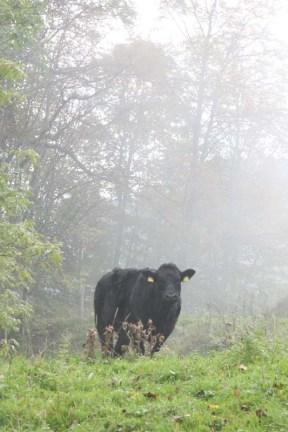 Black Cow at the Jura Mountains Switzerland
