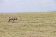 3-zebra-tanzania-serengetti-safari-animal-jungle-25