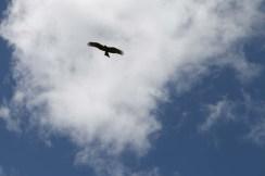 eagle, bird, jungle, tanzania, safari