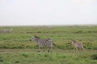 34-zebra-tanzania-serengetti-safari-animal-jungle-39