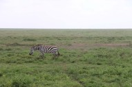 46-zebra-tanzania-serengetti-safari-animal-jungle-37