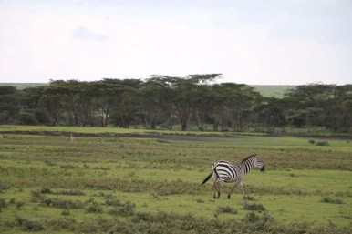 48.6-zebra-tanzania-serengetti-safari-animal-jungle-76
