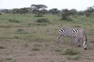 7-zebra-tanzania-serengetti-safari-animal-jungle-44