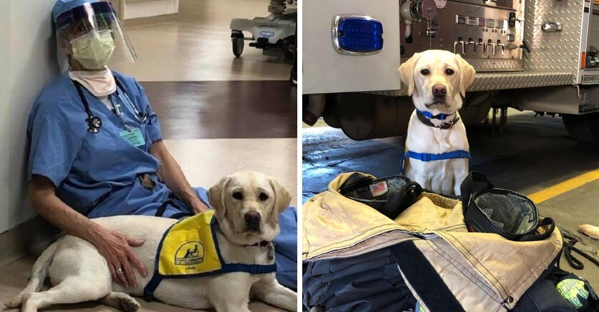 Cão terapeuta conforta médicos que lutam contra coronavírus e emociona a web