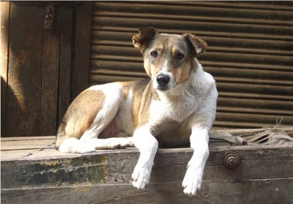 cachorro de rua
