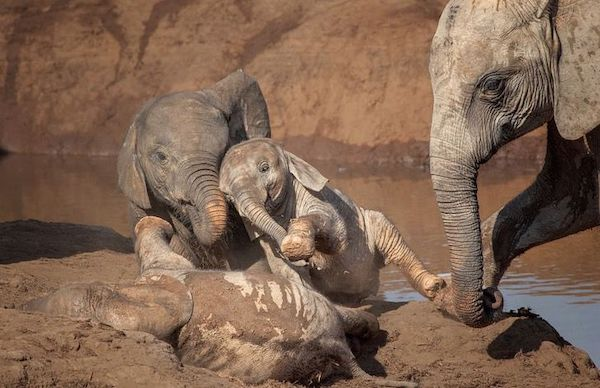 elefante brinca na lama